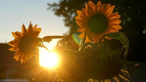 Altweibersommer: Sonnenblume