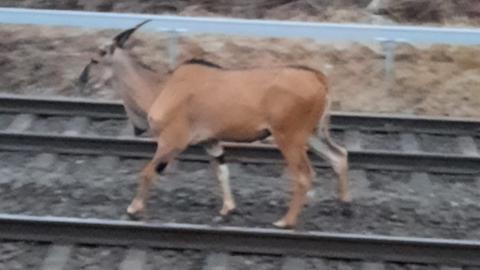 Eine Antilope läuft über die Bahngleise.