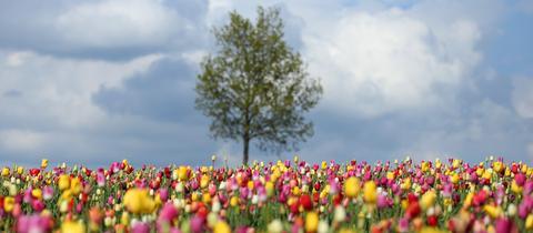 Buntes Tulpenfeld, dahinter ein Baum und wolkenverhangener Himmel