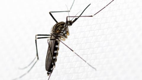 Asiatische Mücke Aedes koreicus