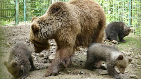 Bären-Nachwuchs im Wildpark Knüll
