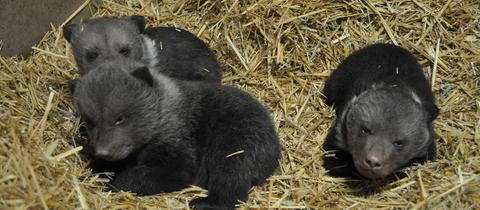 Drei Bärenbabys im Wildpark Knüll