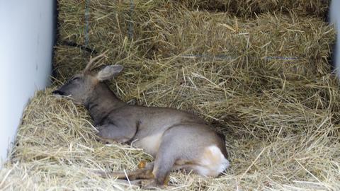 """""""Bambi"""" schläft bei seinem Transport in einem Anhänger"""