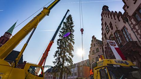 Mit Hilfe von zwei großen Autokränen wird der diesjährige Frankfurter Weihnachtsbaum auf dem Römerberg aufgestellt
