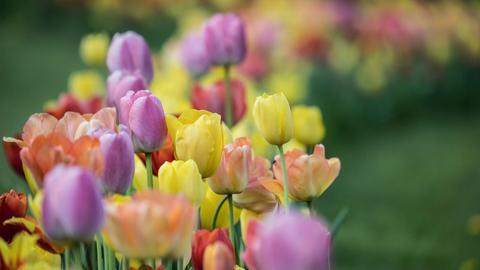Tulpen blühen bei der Landesgartenschau in Bad Schwalbach