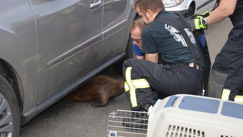 Die Feuerwehr befreit einen Biber unter einem Auto