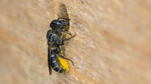 Wildbiene an Holzloch