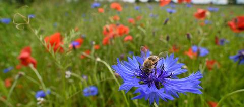 Honigbiene sitzt auf Kornblume in Blühstreifen
