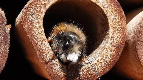 Biene in Bienenhotel