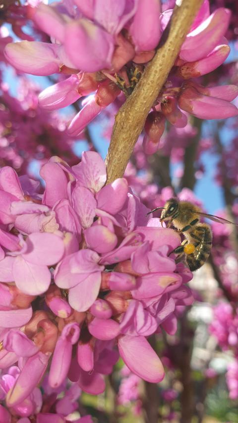 Eine Biene sitzt auf einem chinesischen Judasbaum.