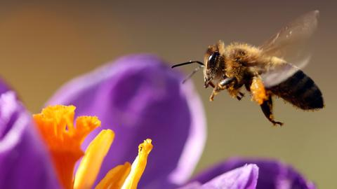 Biene in Hofheim