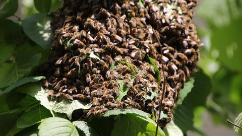 Ein Bienenschwarm krabbelt auf Blättern.
