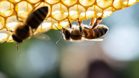 Honigbienen sitzen auf einer Wabe.
