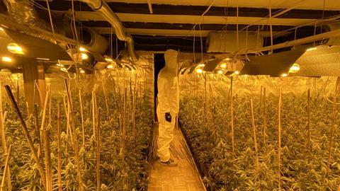 Eine Indoor-Plantage mit Cannabispflanzen.