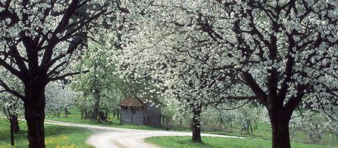 Blühende Kirschbäume in Witzenhausen-Wendershausen