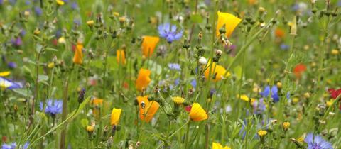 Bunt blühende Blumenwiese