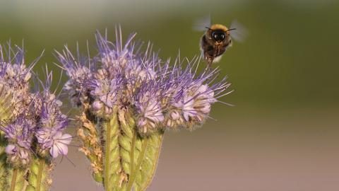 Eine Biene fliegt neben einer Blüte des Bienenfreunds entlang