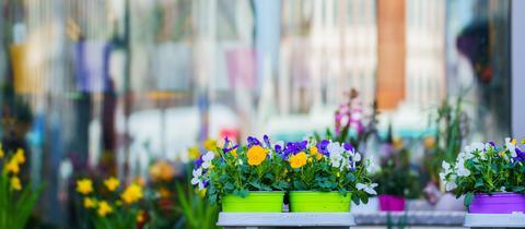 Frühblüher vor einem Schaufenster am Darmstädter Luisenplatz