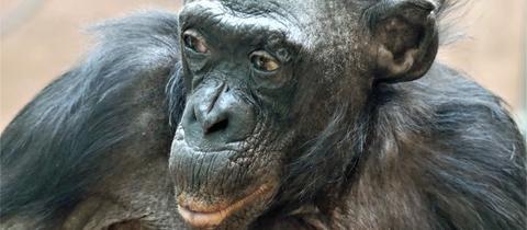 Margrit: Bonobo-Oma, Zoo Frankfurt