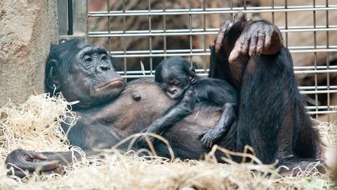 Bonobo-Mutter mit Baby im Arm