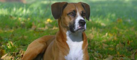 Hunde Verbeißen Sich Ineinander Halter Ersticht Boxermischling