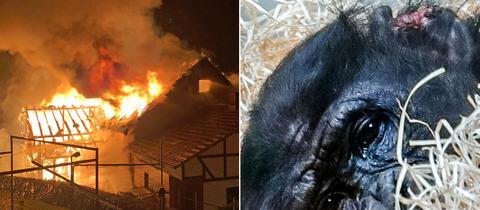 Scheune in Nüsttal in Flammen, Bonobo Bili mit Bisswunden