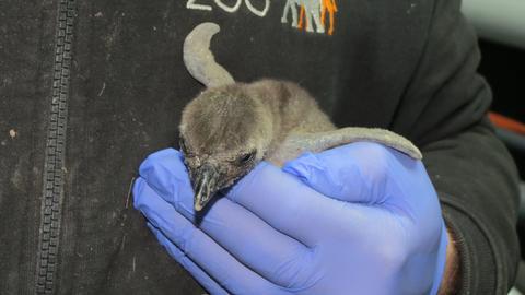 Brillenpinguin Baby Nachwuchs Opel-Zoo