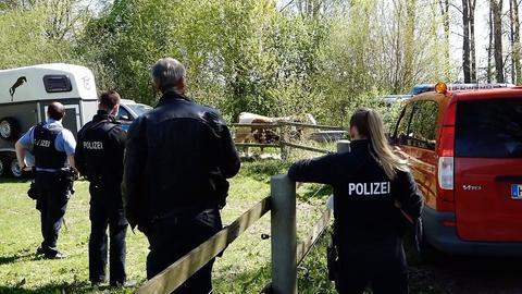 Die Polizei versucht einen Bullen einzufangen.