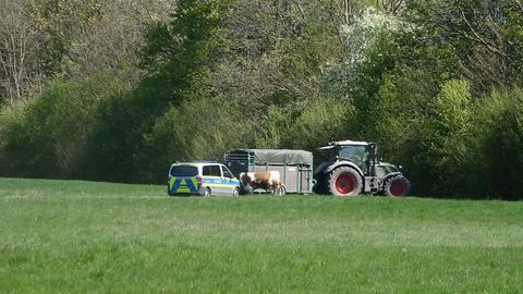 Ein Bulle soll von einer Umzäunung aus Fahrzeugen gestoppt werden.