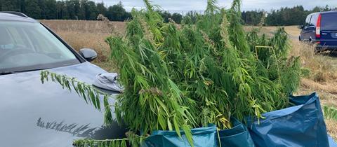 Cannabis in Säcken