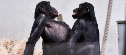 Bonobo Bili hat Sex