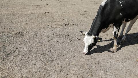 Eine Kuh grast auf einer staubigen Wiese