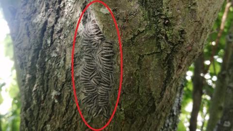 Eichenprozessionsspinner-Nest