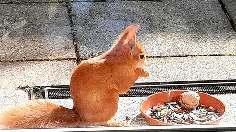 Ein rotes Eichhörnchen sitzt vor einer Terrassentür und bedient sich aus einer Schale mit Nuss und Kernen.