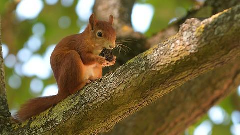 Ein Eichhörnchen knabbert an einer Nuss.