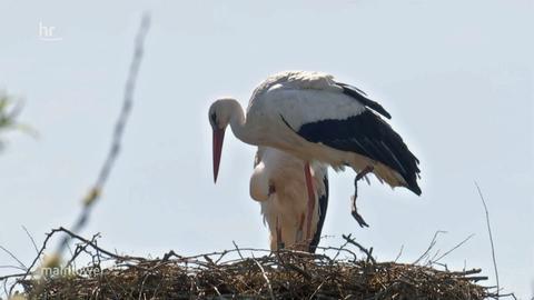 Einbeiniger Storch