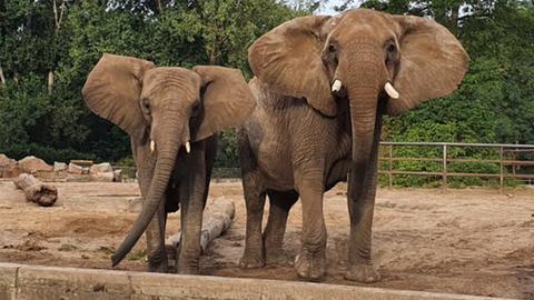 Die afrikanischen Elefanten Kariba und Lilak stehen in ihrem Gehege im Tierpark Berlin.