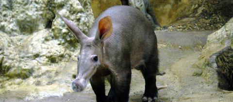 Elvis in seinem Gehege im Frankfurter Zoo.