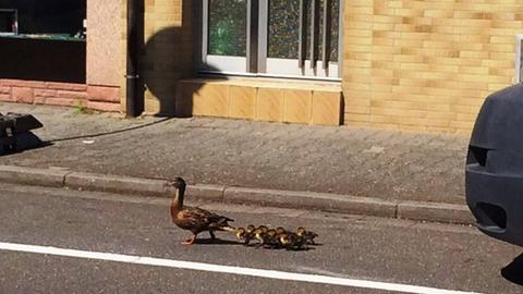 Eine Entenfamilie auf der Straße.