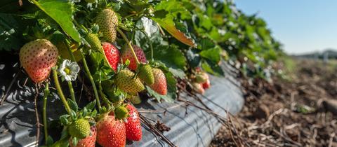 November-Erdbeeren auf hessischen Feldern
