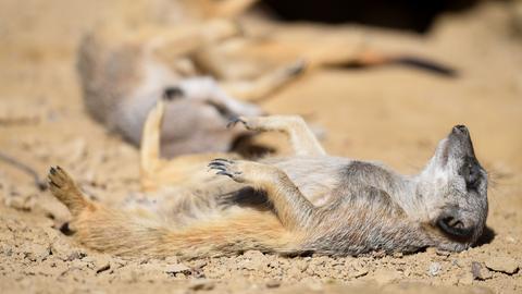 Zwei Erdmännchen liegen in ihrem Gehege im Frankfurter Zoo in der Sonne.