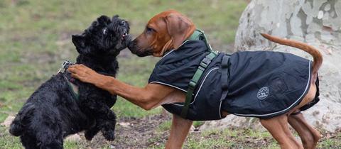 Rangelnde Hunde am Frankfurter Mainunfer