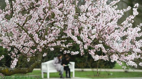 Schon in voller Blüte: Ein Hybrid-Mandelbaum im Frankfurter Palmengarten