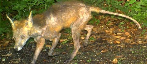 Von Fuchsräude befallener Fuchs
