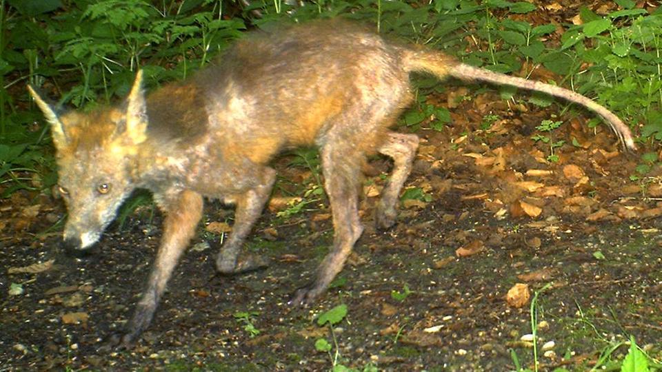 Fuchsräude Gefährdet Auch Freilaufende Hunde Hessenschaude Panorama