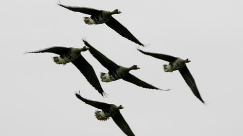 Fliegende Wildgänse