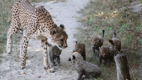 Geparden im Opel-Zoo Kronberg