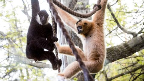 Gibbons Zoo Frankfurt