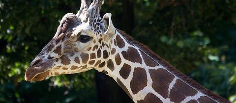 Giraffenbulle Hatari