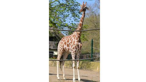 Giraffe Monique Frankfurt